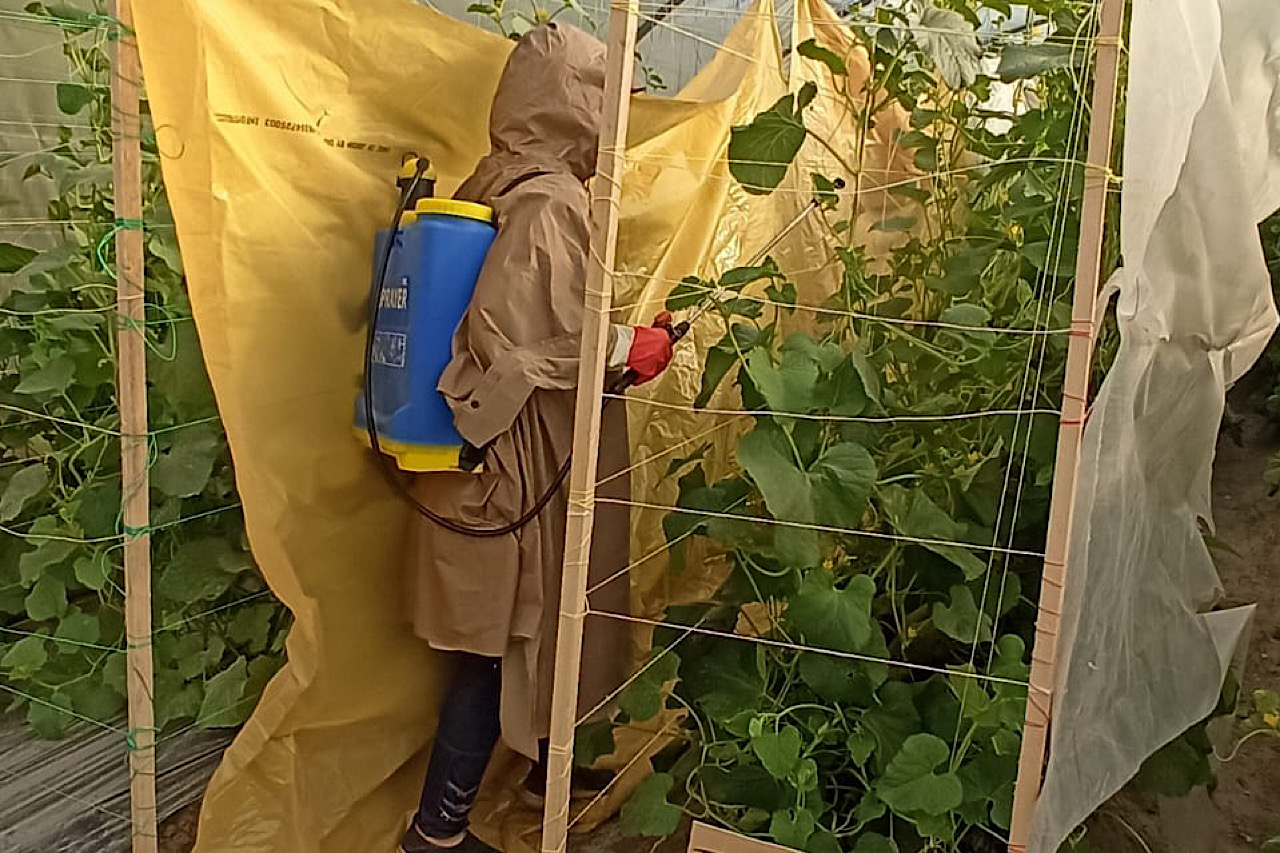 زراعة خيار القثاء في البيوت المحمية